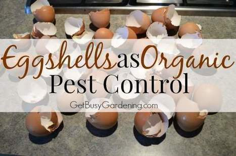 eggshellsAsOrganicPestControl.jpg (640x424 pixels) | Garden Ideas by Team Pendley | Scoop.it