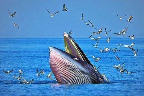 Meet the World's Newest—and Most Endangered—Whale | Paneco Press: Species Watch | Scoop.it