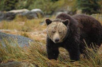 First Nations study uncovers grizzly bear 'highway' | Earth and Psyche | Scoop.it