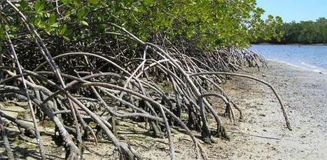 """Mangroves could survive sea-level rise if protected (""""against humans?!?"""") 