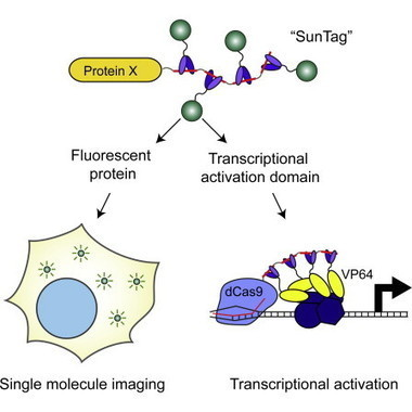 A Protein-Tagging System for Signal Amplification in Gene Expression and Fluorescence Imaging: Cell   Awesome Science That  I Like   Scoop.it