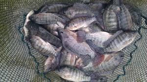 US fish farmer makes generous food bank donation | Aquaculture Directory | Tilapia | Scoop.it