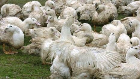 Oies et canards: abattage inédit dans le Sud-Ouest contre la grippe aviaire | Actualités agricoles LRMP | Scoop.it