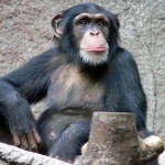 Research Reveals Chimps Can Create Local Social Traditions | Amazing Science | Scoop.it