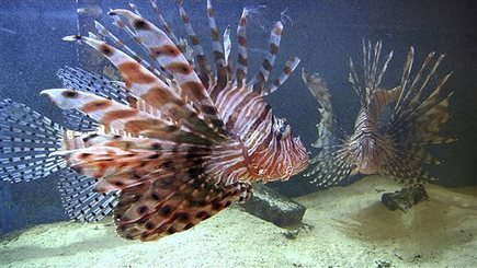 Scientists tether lionfish to Cayman reefs - Phys.Org | Coral Reef Ecology | Scoop.it