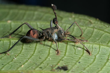 Absurd Creature of the Week: The Zombie Ant and the Fungus That Controls Its Mind | Social Foraging | Scoop.it
