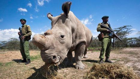 L'homme a tué pratiquement tous les rhinocéros blancs du Nord : il ne reste plus que 5 survivants sur Terre   Ces animaux sauvages ou domestiques maltraités par l'homme   Scoop.it