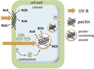 Pectins, ROS homeostasis and UV-B responses in plant roots | Plant Gene Seeker -PGS | Scoop.it