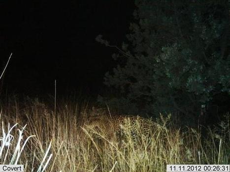 Jaguar and ocelot photographed in southern Arizona   Wildlife Extra   CALS in the News   Scoop.it