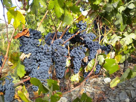 Quevedo: Vindima 2011 – primeira metade já está colhida | Wine Lovers | Scoop.it