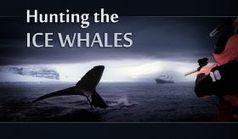 A whale of a tale — Australian Antarctic Division | SJC Science | Scoop.it
