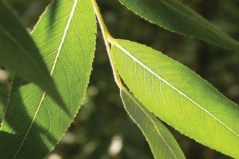 BBSRC MENTION: British scientists to make hydrogen using artificial leaves | BIOSCIENCE NEWS | Scoop.it