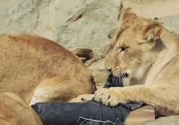 Fundraising Group Sells $1,500 Jeans Featuring Denim Ripped By Lions, Tigers & Bears (Oh My) | Troy West's Radio Show Prep | Scoop.it