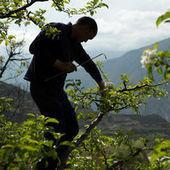 Dans les vergers du Sichuan, les hommes font le travail des abeilles | Let me think about it | Scoop.it