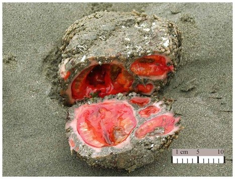 Pyura chilensis, living rock : the closest thing to getting blood from a stone -   1  of the weirdest creatures ever seen | Brainfriendly, motivating stuff for ESL EFL learners | Scoop.it