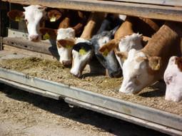 FDA Restricts Antibiotics Use for Livestock - Cornucopia Institute | AMR - Antibiotico resistenza e alimenti di origine animale | Scoop.it