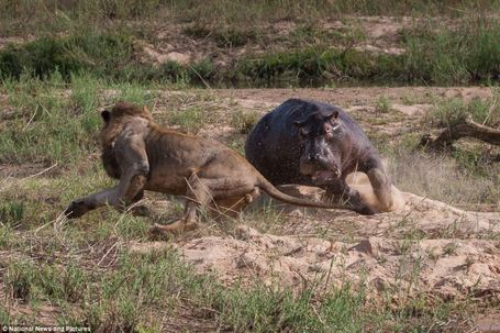 "Stunning pictures show battle to the death between hippo and two lions in South Africa | ""Cameras, Camcorders, Pictures, HDR, Gadgets, Films, Movies, Landscapes"" 