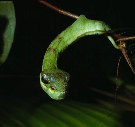 Hemeroplanes Triptolemus – The Creepy Snake That's Actually a Harmless Caterpillar | Strange days indeed... | Scoop.it