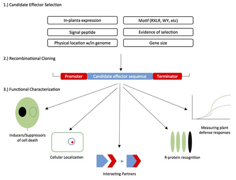 Fungal Biology Reviews: Form and function of fungal and oomycete effectors (2016) | How microbes emerge | Scoop.it