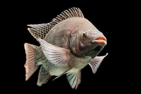 Male Tilapia Use Pee to Attract Females; Could It Help Fish Farms? | Mina Tani Semesta | Scoop.it