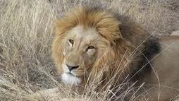 Scientist moves to save African predators   Africasti.com   My Funny Africa.. is this the lions last roar?   Scoop.it