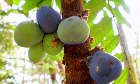 Bush food: Davidson plums | Australian Plants on the Web | Scoop.it