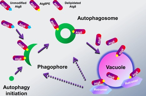PLOS Genetics: Retromer Is Essential for Autophagy-Dependent Plant Infection by the Rice Blast Fungus | Plant-Microbe Interaction | Scoop.it