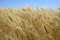 World Wheat Market Fears GMO Contamination | Piccolo Mondo | Scoop.it