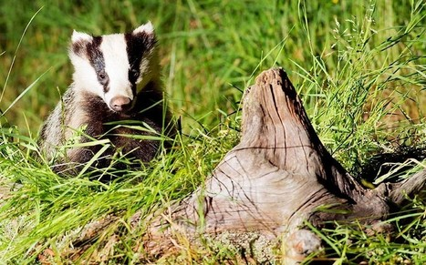 Badger cull has failed to kill enough animals, sources claim - Telegraph   Animal Science   Scoop.it
