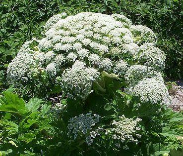 Voici la liste des plantes invasives interdites dans les marchés ... - RTL.be | Les envahisseurs | Scoop.it