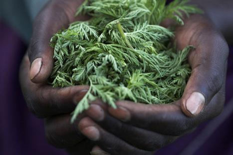 L'artémisinine, l'herbe qui tue 98% des cellules cancéreuses en seulement 16 heures - Actumag Info | Société durable | Scoop.it