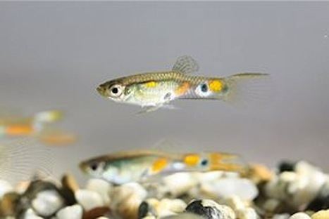 Male Guppies Hang With Their Ugliest Friends to Improve Their Own Chances of Getting Some | Our Weird & Wonderful World | Scoop.it