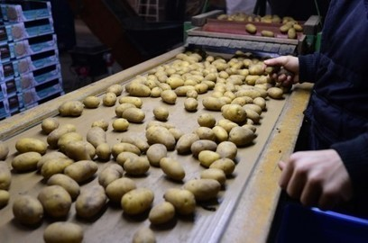 The unusual potatoes that could help solve world hunger | Sustain Our Earth | Scoop.it