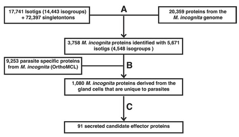 MPMI: Mining novel effector proteins from the esophageal gland cells of Meloidogyne incognito (2014)   Plant Pathogenomics   Scoop.it