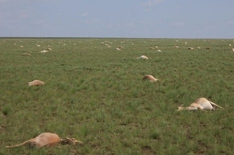 Scientists Have Finally Figured Out Why Hundreds Of Thousands Of Antelope Dropped Dead Last Year   VCE Environmental Science   Scoop.it