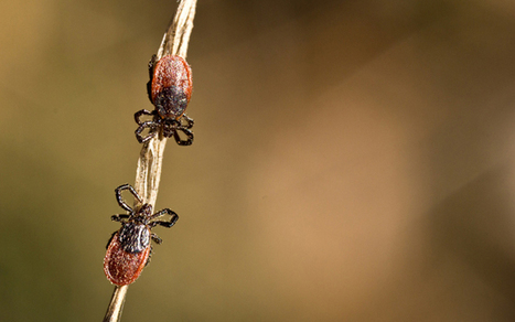 Lyme disease identified in Bay Area ticks, and it isn't alone | Lyme Disease | Scoop.it