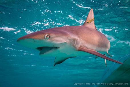 Shark Tagging in Belize | Belize in Social Media | Scoop.it
