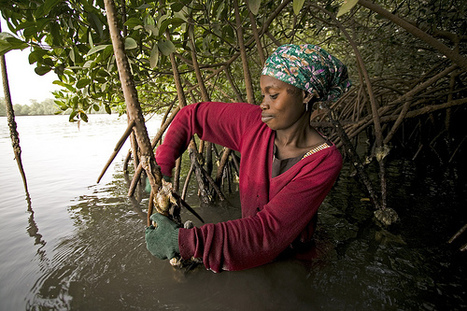 #Mangroves bring #wildlife back to #Senegal coast ~ Fox News | Rescue our Ocean's & it's species from Man's Pollution! | Scoop.it