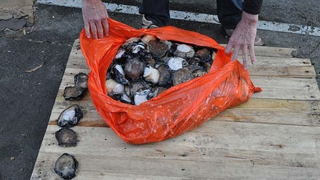 Australia: Abalone poachers given jail sentences | Wildlife Trafficking: Who Does it? Allows it? | Scoop.it