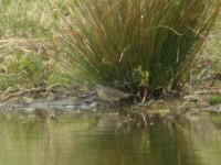 Water PIpit | Birds | Scoop.it