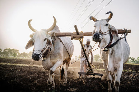 Indian Beef Workers Fight to Bring Back the Bull Market | Southmoore AP Human Geography | Scoop.it