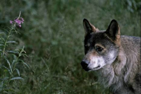 Retour du loup en France : les associations dénoncent la mauvaise gestion du dossier par l'État | Loup | Scoop.it