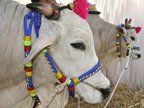 Tirumala shrine to set up gene bank for indigenous cows | Agricultural Biodiversity | Scoop.it