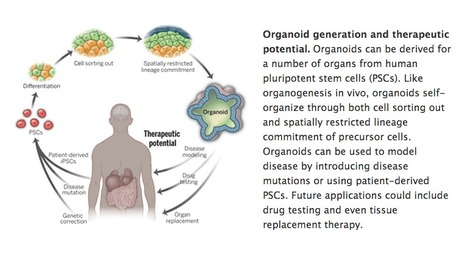 Organogenesis in a dish: Modeling development and disease using organoid technologies | Amazing Science | Scoop.it