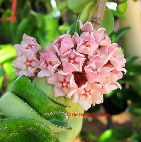 Hindu Rope (Hoya compacta) | Orchids & Flowers | Scoop.it