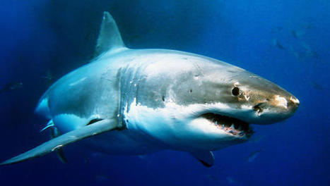 Did You Know We Kill Sharks So We Can Put Their Livers In Moisturizer? | Fisheries3point0 | Scoop.it