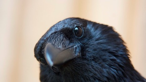 What Can Crows and Ravens Teach People About Resisting Temptation? | Behavioral Economics in Action | Scoop.it