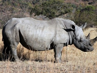 Are the poachers winning? South African rhinos killed so far in 2014 surge to 618 - Treehugger | Save our Rhino and all animals...this is what it looks like!!!!! | Scoop.it