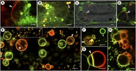 mEosFP-Based Green-to-Red Photoconvertible Subcellular Probes based on GFP variants | Amazing Science | Scoop.it