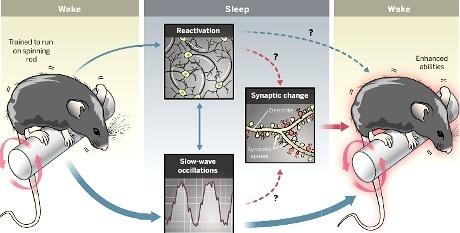 Come si formano le memorie nel sonno | Editoria e Comunicazione scientifica | Scoop.it